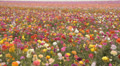 Flower Fields LM11 Persian Buttercup  Pink Yellow Purple White Footage