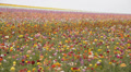 Flower Fields LM12 Persian Buttercup  Pink Yellow Purple White HD Footage