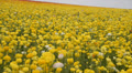 Flower Fields LM13 Persian Buttercup Yellow Footage
