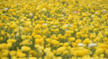 Flower Fields LM14 Persian Buttercup Yellow Footage