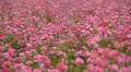 Flower Fields LM17 Persian Buttercup Pink Footage