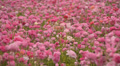 Flower Fields LM18 Persian Buttercup Pink HD Footage