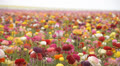 Flower Fields LM19 Persian Buttercup Pink Red White Yellow Purple HD Footage