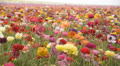 Flower Fields LM22 Persian Buttercup Pink Red White Yellow Purple HD Footage