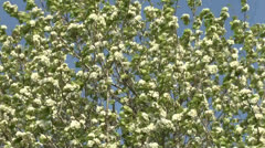 Blossoming tree of a pear. Stock Footage