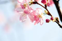 Cherry blossom isolate with sky blue color Stock Photos