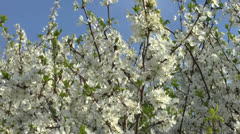Blossoming tree of a cherry. Stock Footage