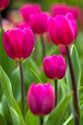 colorful tulips for adv or others purpose use - stock photo