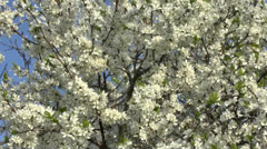 Blossoming apricot tree Stock Footage