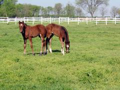 Two brown foals in corral Stock Photos