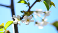 Stock Video Footage of white spring blossoms