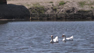 Geese on the water Stock Footage