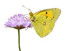 Isolated butterfly feeding on flower Stock Photos