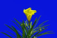 yellow oleander flower (thevetia peruviana) - stock photo