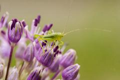 Cricket on flower Stock Photos