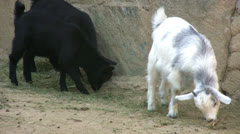 Goats feeding Stock Footage
