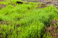 Stock Photo of fresh green grass meadow at spring