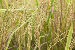 Rice field on harvest - stock photo
