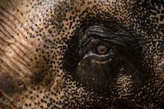 Expressive elephant eye. Stock Photos