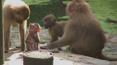 Baboons near the water - stock footage