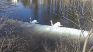 Stock Video Footage of two white swans (Cygnus olor) on  spring river with ice