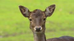 Fallow Deer (cervus dama) doe on camera + looks away Stock Footage