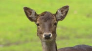 Stock Video Footage of Fallow Deer (cervus dama) doe on camera + looks away