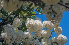 viburnum opulus compactum bush with white flowers (selective focus on flowers - stock photo