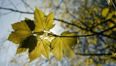Backlit sycamore maple leaf with camera move. Stock Footage
