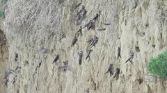Bank swallows (Riparia riparia) nest colony Stock Footage