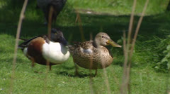 Northern Shoveler (anas clypeata) male and female take a walk at lakeside Stock Footage