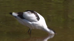 Pied Avocet (Recurvirostra avosetta) foraging in shallow Stock Footage