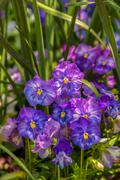 Stock Photo of violet beautiful pansy flowering in spring time with green