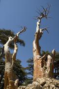 barkless trees - stock photo