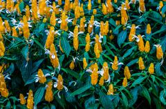 blossoming pachystachys lutea close-up - stock photo