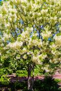 white, fleecy blooms  hang on the branches of fringe tree - stock photo