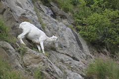 Mountain Goat on steep mountain long distance Alaska Stock Photos