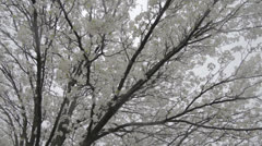 HD Stock Footage 1080p - Dogwood tree in full bloom during snow - RARE - flat Stock Footage