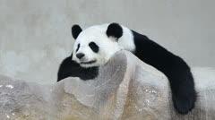Cute giant panda bear sleep Stock Footage
