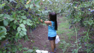 Stock Video Footage of Picking yummy blueberries