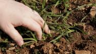 Stock Video Footage of Farmer examines wheat shoots CU