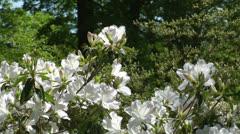 White azalea close up Stock Footage