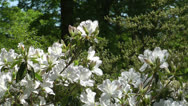 Stock Video Footage of White azalea close up