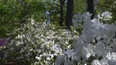 White azaleas Stock Footage