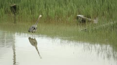 Great Blue Heron Hunting Stock Footage