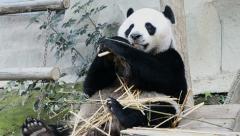 Cute giant panda bear eating bamboo Stock Footage