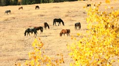 Nicola Valley, Horses Grazing, British Columbia Stock Footage