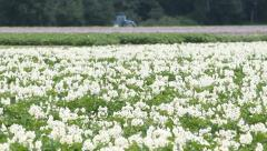 Potato Blossoms and Tractor Stock Footage