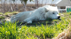 Arctic Wolf 2 Stock Footage