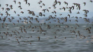 Stock Video Footage of Shorebirds, birds, bird, fly, beach
